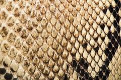 Textur av äkta snakeskin Arkivbilder