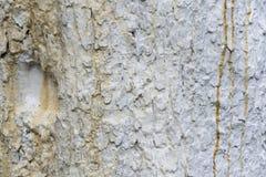 Textur av äppleträdskället som kalkas av limefrukt, slut Arkivfoton