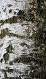 Textur av björkskället Arkivfoto