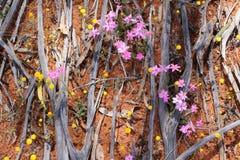 Textur av brända trä-, rosa färg- och gulingvildblommor som blommar i den australiska vildmarken i vår Arkivbilder