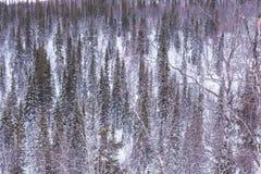 Textur av de snöig träden i vinter Royaltyfria Bilder