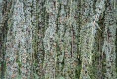 Textur av den blåa granen med att sloka filialer Royaltyfria Foton