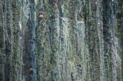 Textur av den blåa granen med att sloka filialer Royaltyfri Bild