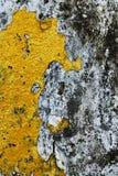 Textur av den gamla konkreta grungeväggen med lavmossa mol Fotografering för Bildbyråer