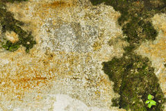 Textur av den gamla konkreta grungeväggen med lavmossa mol Royaltyfri Bild