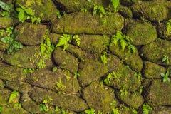 Textur av den gamla stenväggen täckte grön mossa i fortet Rotterdam, Makassar - Indonesien arkivbild