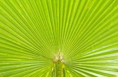 Textur av den gröna palmbladet Arkivfoton