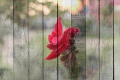 Textur av den härliga röda blomman för samkopiering på gammalt trä arkivfoton
