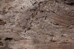 Textur av den torra trädstammen Royaltyfri Bild