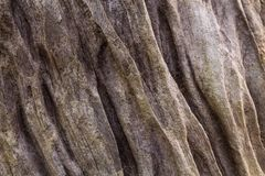 Textur av det bruna skället av ett träd royaltyfria bilder