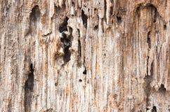 Textur av det bruna trädskället Royaltyfri Bild
