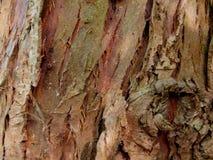 Textur av det gamla skället av thujaträdet arkivfoton