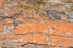 Textur av det gamla skalningsbjörkskället som täckas delvist med mossa eller svampen, abstrakt bakgrund Royaltyfria Bilder
