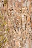 Textur av det gamla skalningsbjörkskället som täckas delvist med mossa eller svampen, abstrakt bakgrund Arkivfoto