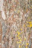 Textur av det gamla skalningsbjörkskället som täckas delvist med mossa eller svampen, abstrakt bakgrund Fotografering för Bildbyråer