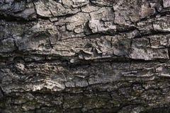 Textur av det naturliga trädskället för bakgrund fotografering för bildbyråer
