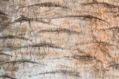 Textur av det wood trädet med bruna sprickor Royaltyfria Foton