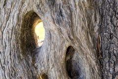 Textur av en gammal olivträd Royaltyfria Foton