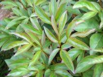 Textur av en pionbuske Royaltyfria Bilder
