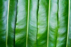 Textur av ett grönt blad Royaltyfria Bilder