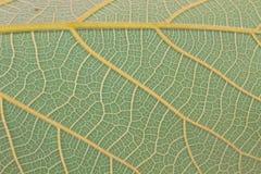 Textur av ett grönt blad som bakgrund Royaltyfri Fotografi