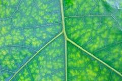 Textur av ett grönt blad som bakgrund Royaltyfria Bilder