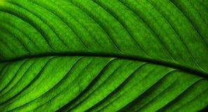 Textur av ett grönt blad som bakgrund Arkivfoto