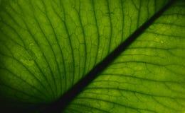Textur av ett grönt tropiskt blad Royaltyfri Foto
