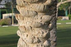 Textur av ett palmträdskäll Naturligt mönstra Royaltyfria Foton