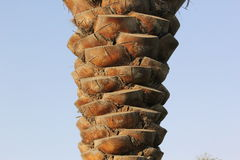 Textur av ett palmträdskäll Naturligt mönstra Arkivbild