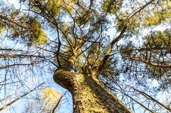 Textur av ett perent tr?d som ?r majest?tisk s?rjer och dess h?rliga krona, nedersta sikt fotografering för bildbyråer