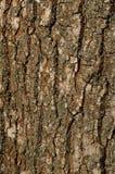 Textur av ett skäll av en gammal ek. Bakgrundsmodell Arkivfoton
