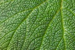 Textur av ett stort tropiskt grönt blad med den vita linjen arkivfoto