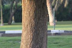 Textur av ett trädskäll i en trädgård, Dubai Royaltyfria Bilder