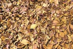 Textur av fallande sidor för torr brunt på golvet, naturbakgrund Royaltyfri Fotografi