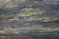 Textur av gammalt ruttet trä Ligga i forestDesignbakgrunden arkivfoto