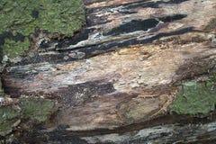 Textur av gammalt ruttet trä Ligga i forestDesignbakgrunden arkivfoton