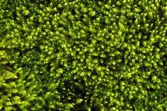 Textur av grön mossa Royaltyfri Foto