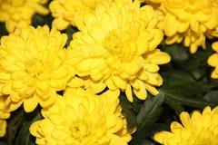 Textur av guling blommar krysantemum Arkivbild