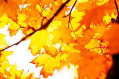 Textur av guling lämnar Autumn Leaf Background Royaltyfri Bild