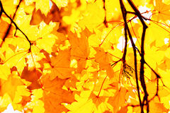 Textur av guling lämnar Autumn Leaf Background Arkivfoton