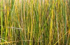 Textur av gult grönt gräs Royaltyfri Foto