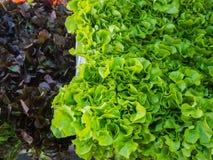 Textur av hydrokulturgrönsaker för grön ek och för röd ek arkivfoton