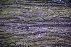 Textur av lönnträdskället Arkivbild