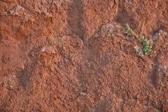 Textur av lerasandväggen av röd färg med massor av sprickor av olikt djup på väggen en ensam grön blomma livet och powen arkivbild