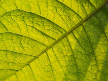 Textur av purpurfärgade Ivy Leaf Fotografering för Bildbyråer