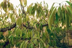 Textur av sidor av ett körsbärsrött träd royaltyfri fotografi