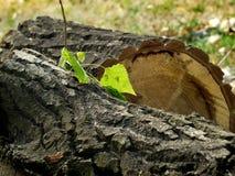 Textur av skället av sågat trä Arkivfoto