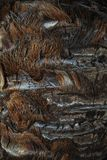 Textur av skället och fibrerna av stammen av gömma i handflatan Royaltyfri Bild