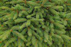 Textur av små gröna barrträds- granfilialer Arkivfoto